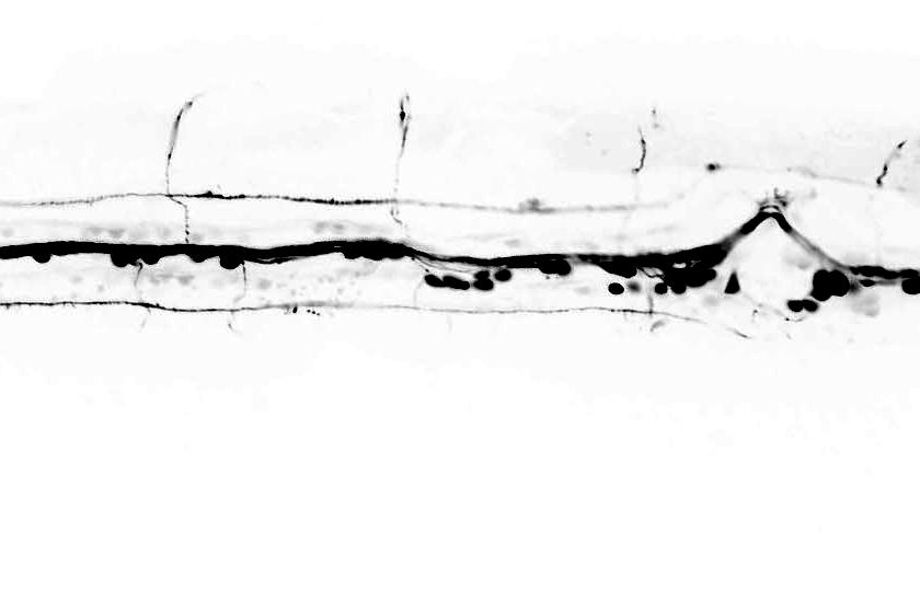 C-elegans cholinergic neurons LX929