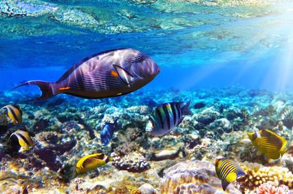 Korallen und Fische im Roten Meer, Ägypten.