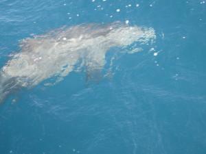 Delfin knapp unter der Wasseroberfläche von oben.
