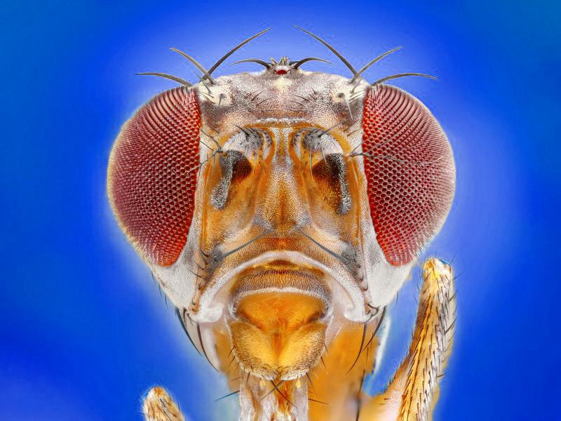 Drosophila mit blauem Hintergrund