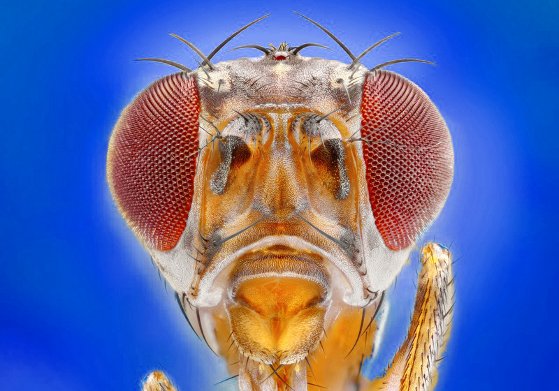 Drosophila blue_background